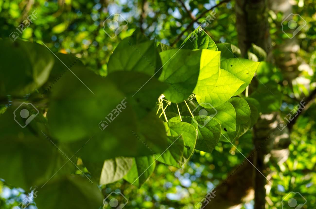 Immagini Stock Sfondo Verde Foglia Nella Foresta Hanno Molte