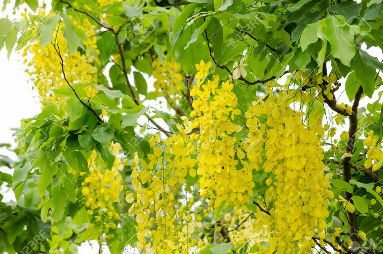 Cassia Fistula Is The National Tree Of Thailand And Its Flower Is