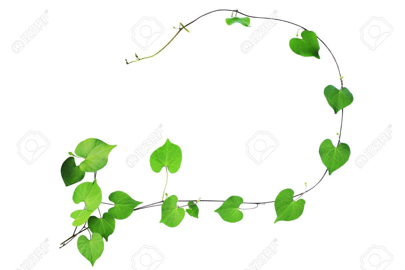 Natural Frame Of Green Heart Shaped Leaves Climbing Plant With ...