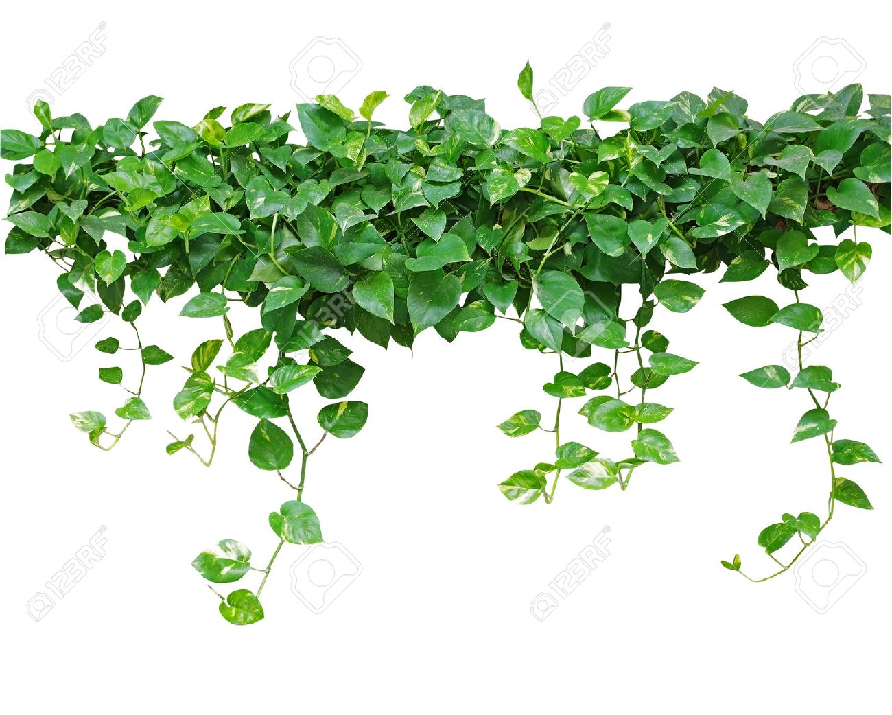 Heart Shaped Leaves Vine Devils Ivy Golden Pothos Isolated