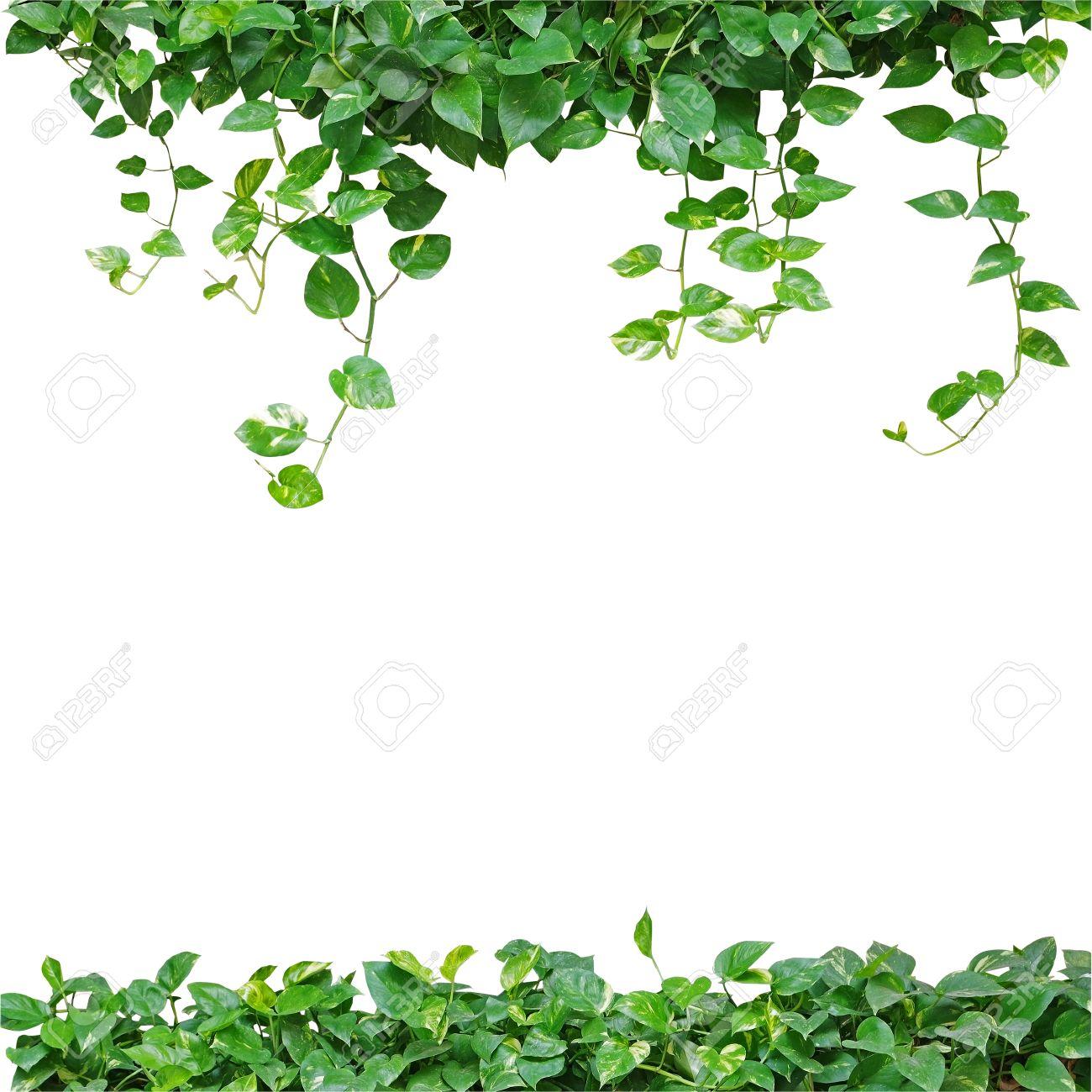 Herzförmige Blätter Rebe, Teufels Efeu, Golden Pothos, Isoliert Auf ...