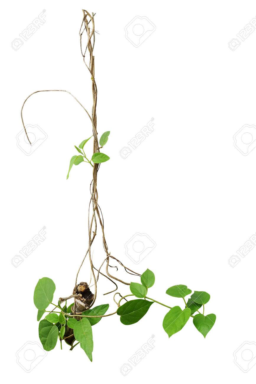 Heart Shaped Green Leaf Climbing Plant With Dried Vines Isolated