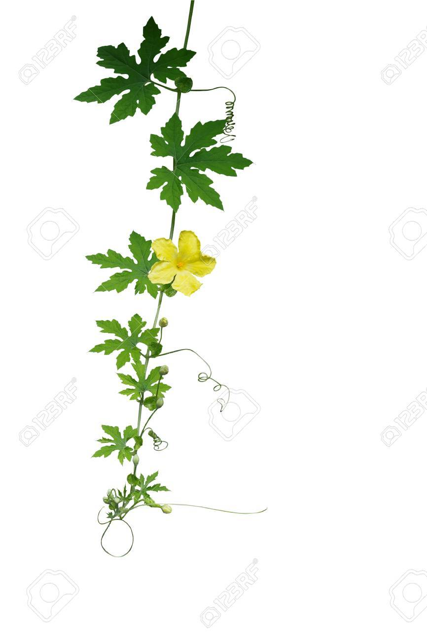Green leaves climbing vine with tendrils and yellow flower isolated green leaves climbing vine with tendrils and yellow flower isolated on white background clipping path mightylinksfo