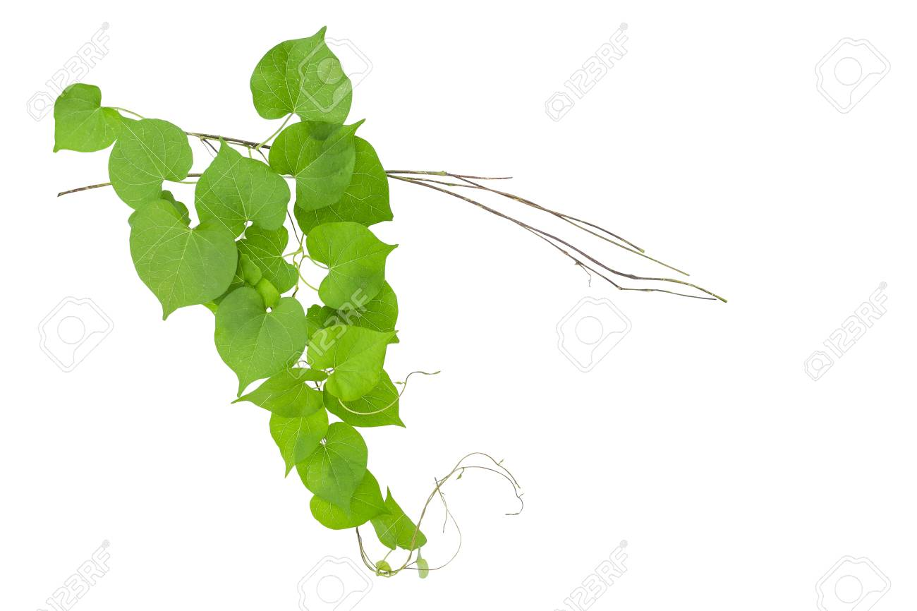 Heart Shaped Green Leaves Wild Vine With Branches Isolated On