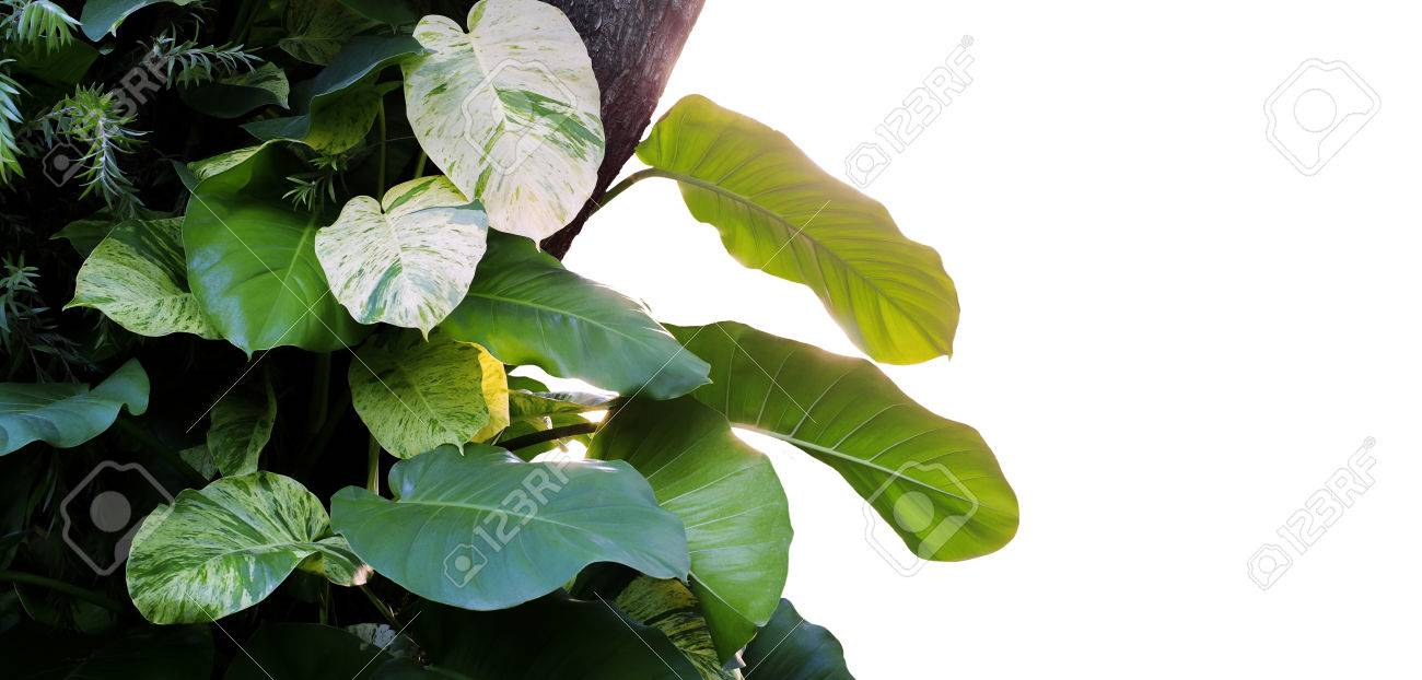 Heart Shaped Leaves Devils Ivy Golden Pothos Epipremnum Aureum