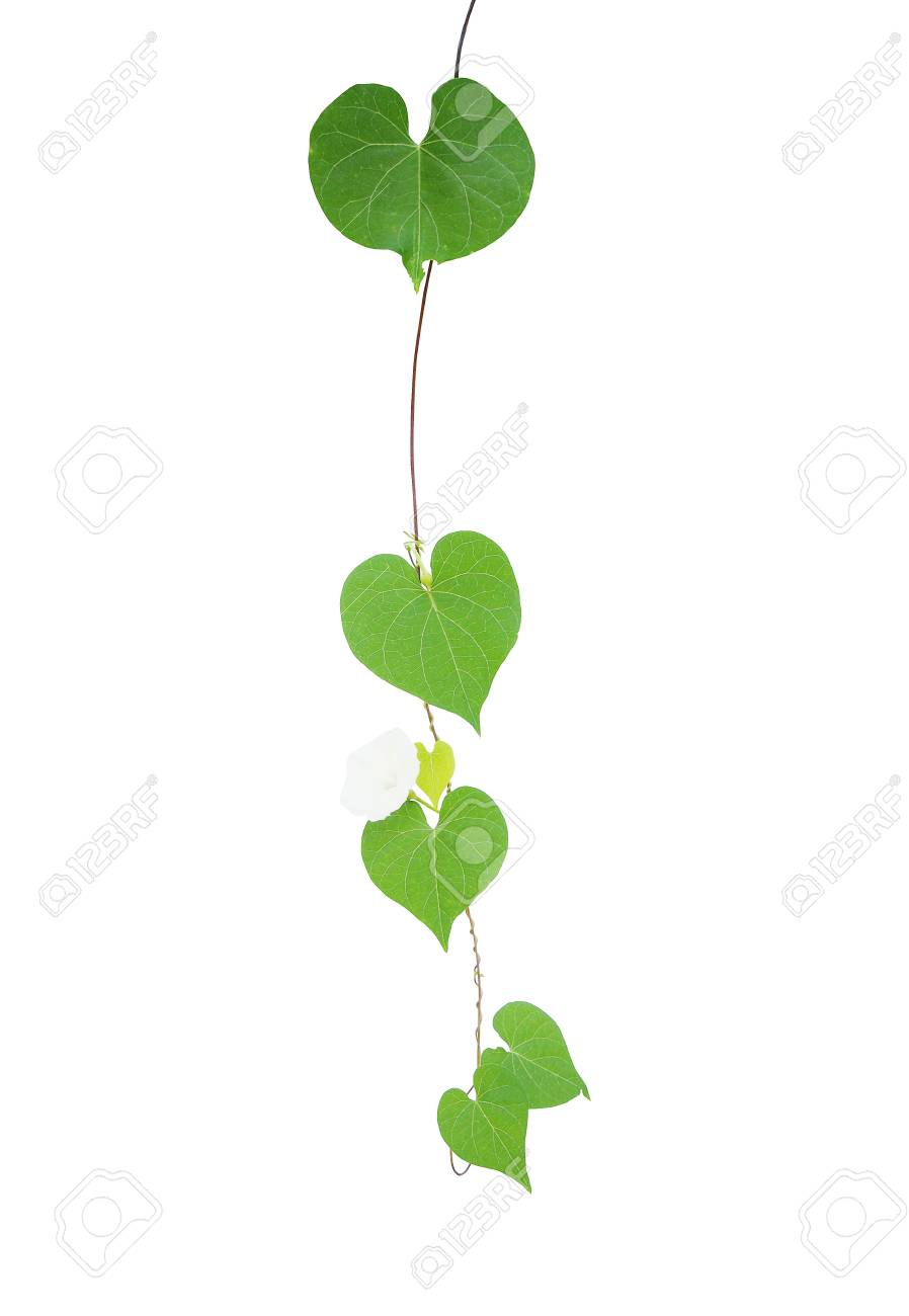 Heart shaped greenery leaves tropical wild vine with tiny white heart shaped greenery leaves tropical wild vine with tiny white flower isolated on white background stock mightylinksfo