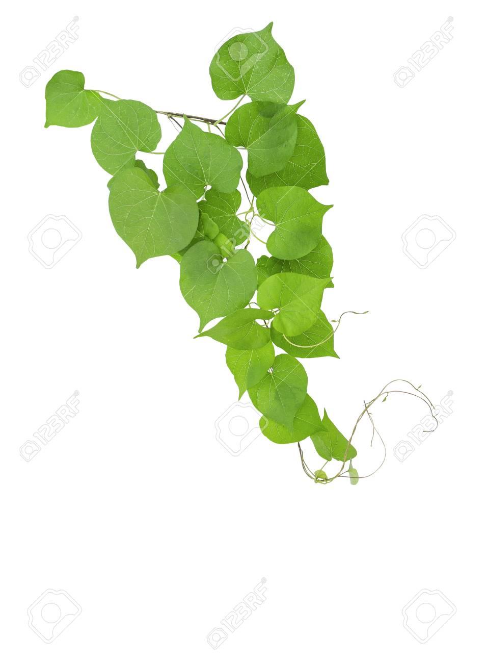 Heart shaped greenery leaves tropical wild vine with branches heart shaped greenery leaves tropical wild vine with branches isolated on white background stock photo mightylinksfo