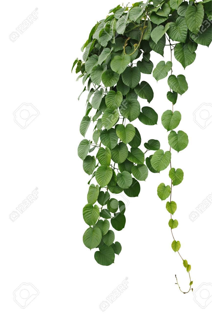 Heart shaped thick green leaf wild vines hanging climber vine heart shaped thick green leaf wild vines hanging climber vine bush isolated on white mightylinksfo