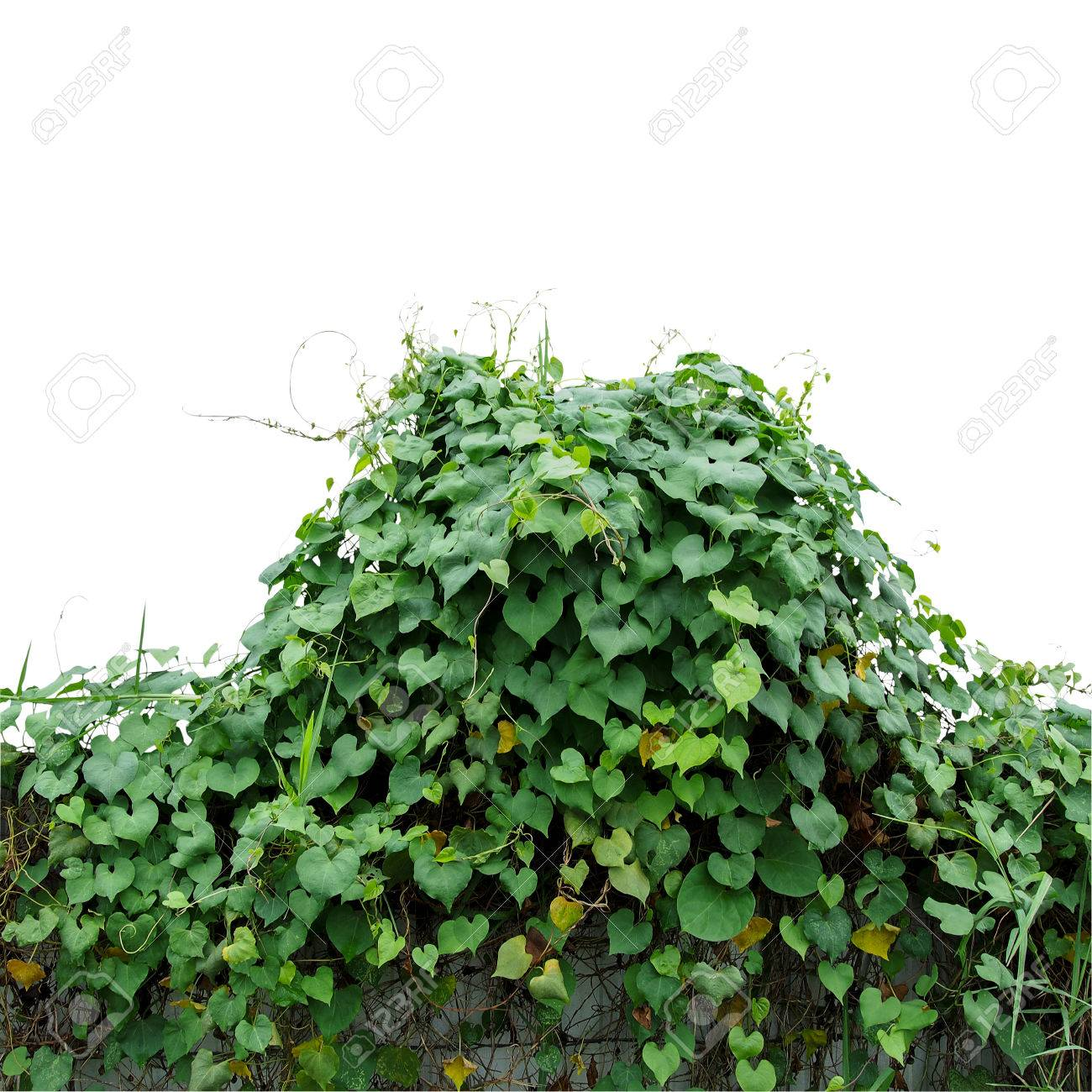 Heart Shaped Green Leaves Climbing Wild Vines Obscure Morning
