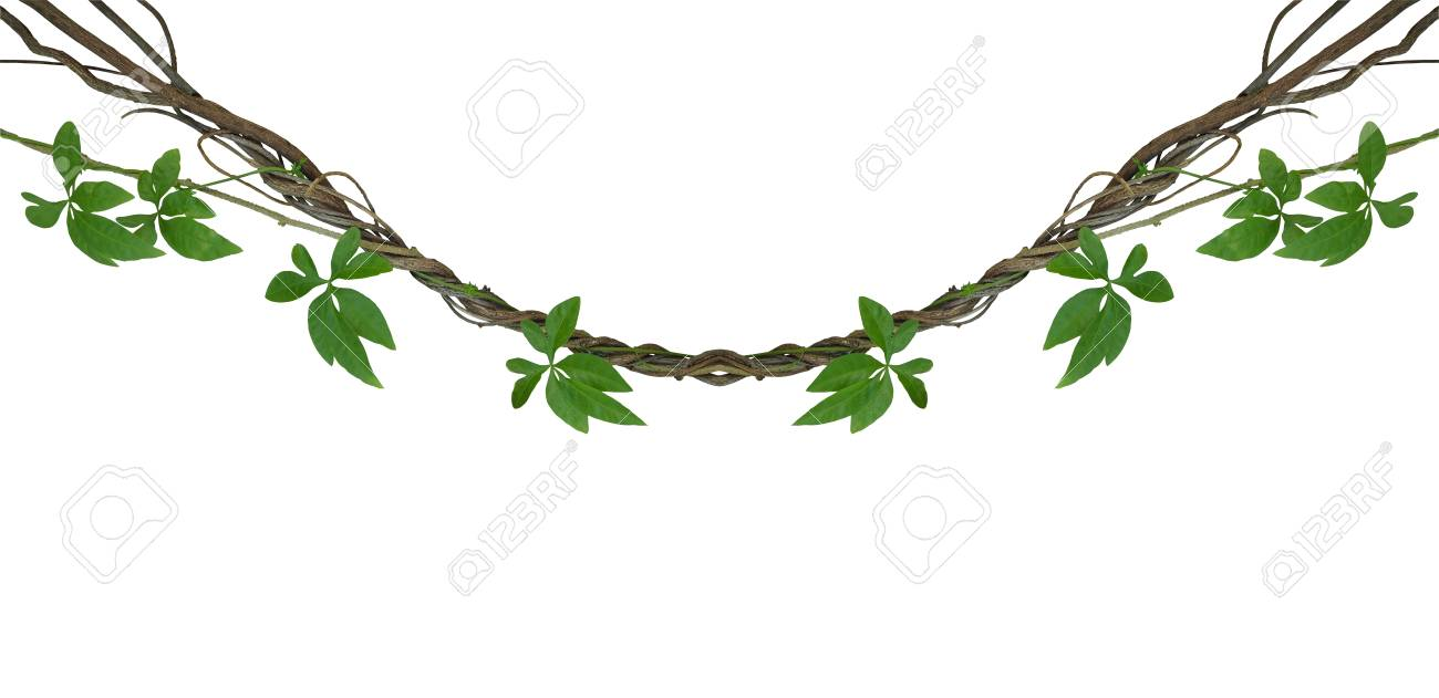 twisted jungle vines with green leaves of wild morning glory stock