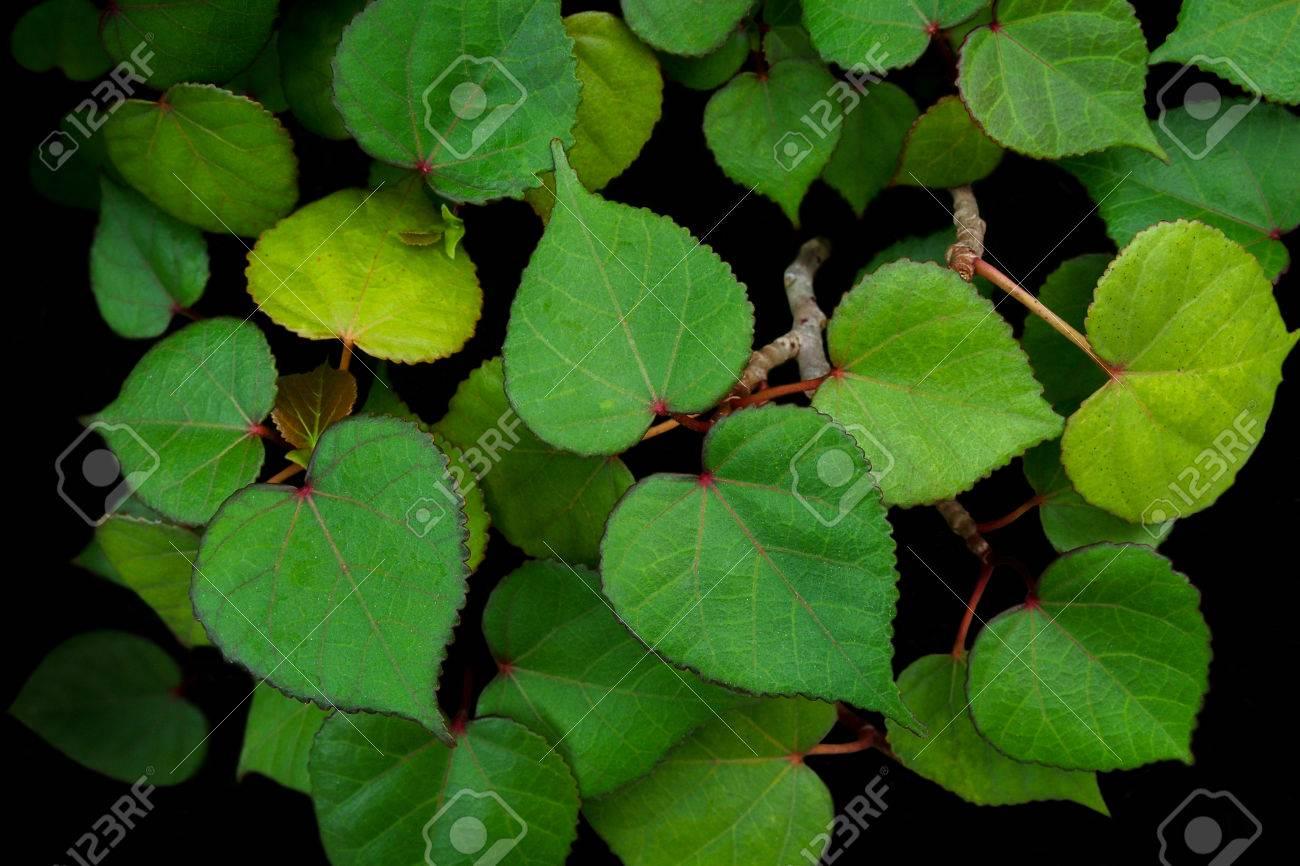 Heart Shaped Green Leaves Of Sea Hibiscus Hibiscus Tiliaceus