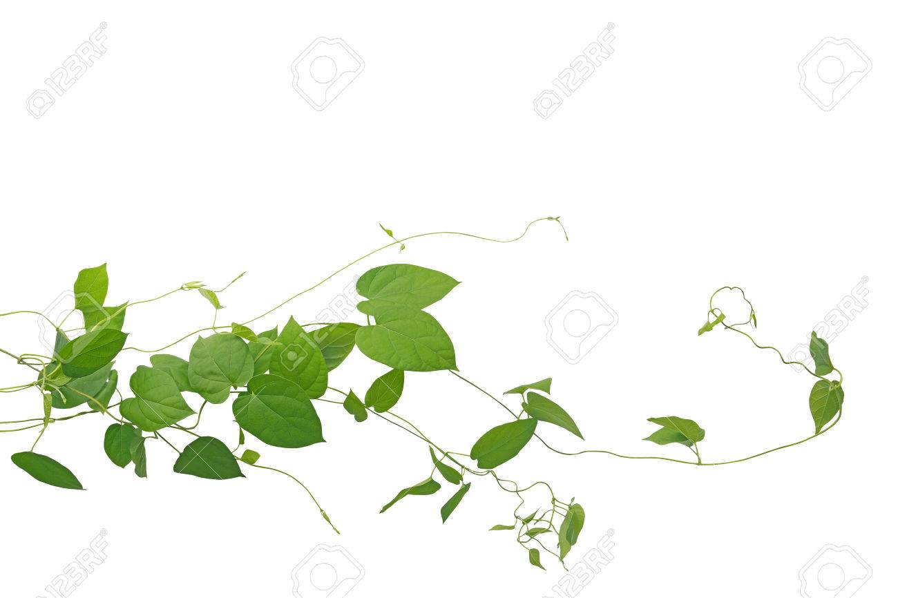 Heart Shaped Green Leaf Climbing Vines Liana Plant Isolated On