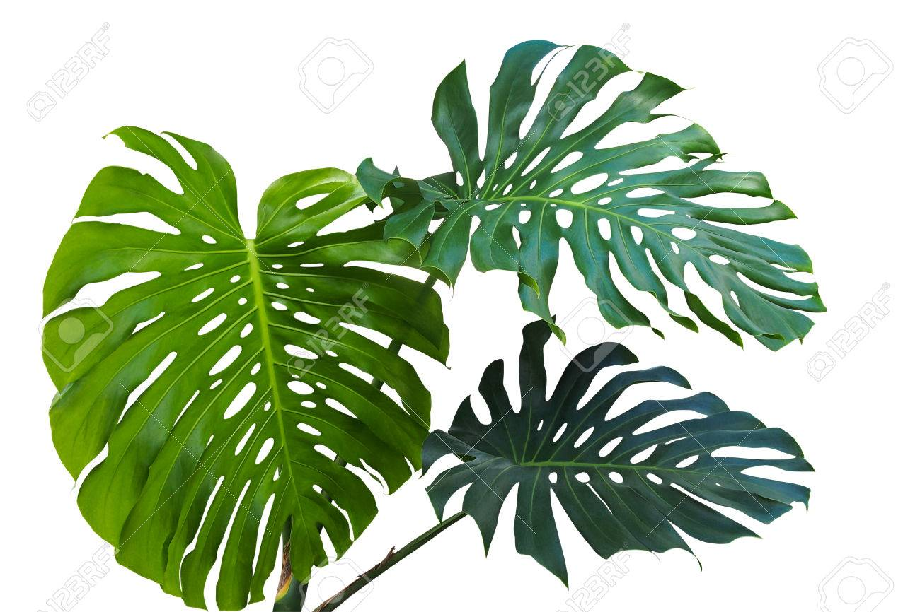 Large Green Leaves Of Monstera Or Split Leaf Philodendron Monstera Stock Photo Picture And Royalty Free Image Image 85196848