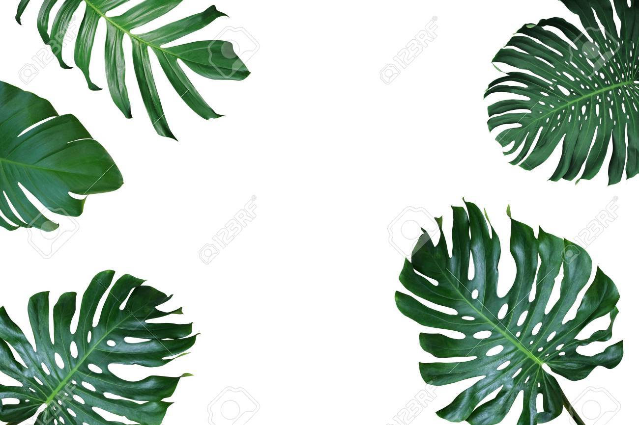 Tropical Leaves Nature Frame Layout Of Monstera Deliciosa, Split ...
