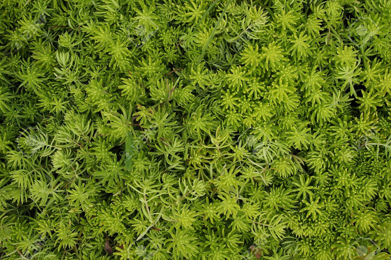Succulent Ground Cover Plant Abstract Greenery Textures Background