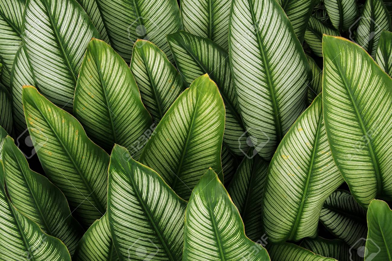 Green Leaf With White Stripes Of Calathea Majestica Tropical