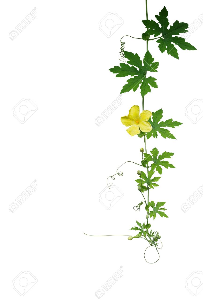Green leaves climbing vine plant with tendrils and yellow flower green leaves climbing vine plant with tendrils and yellow flower of bitter gourd or bitter melon mightylinksfo Image collections
