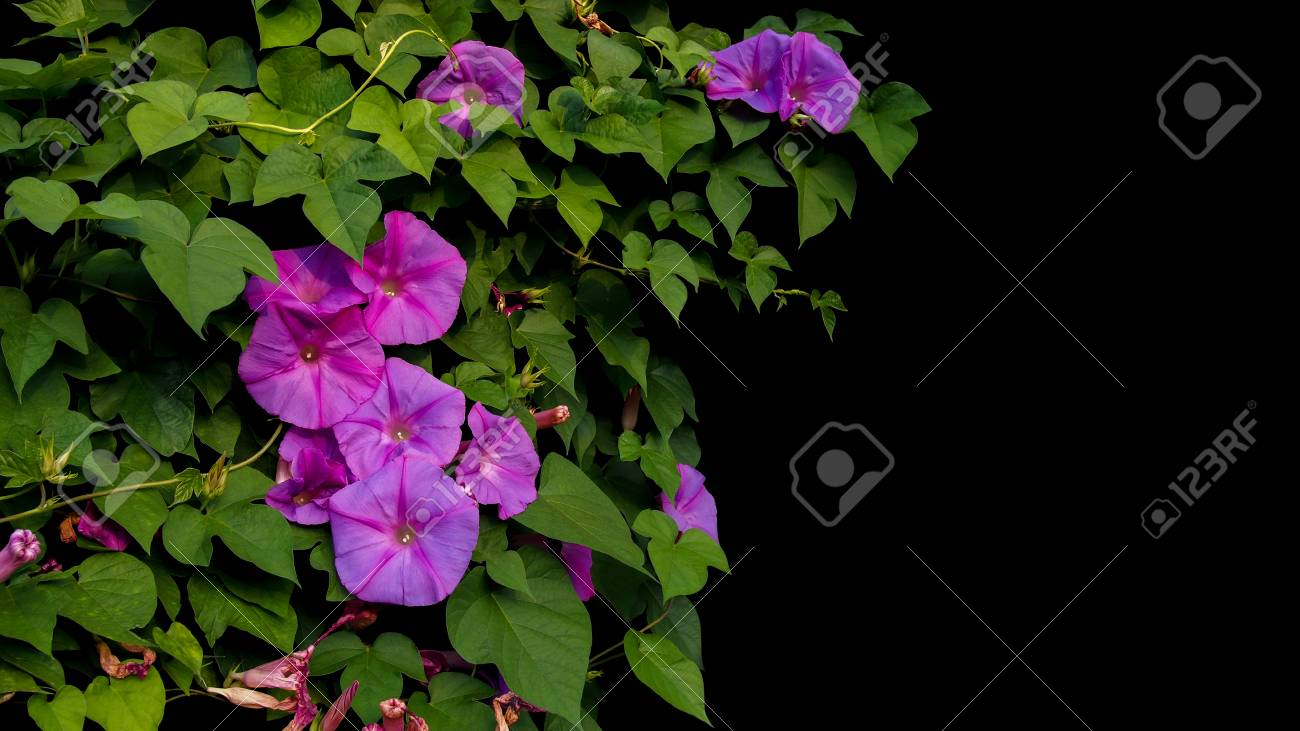 Pink Purple Morning Glory Flowers With Green Leaves Vines Climbing