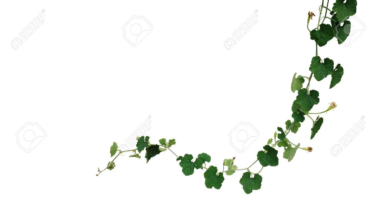 dark green crinkly leaves vine plant of ash pumpkin or wax gourd