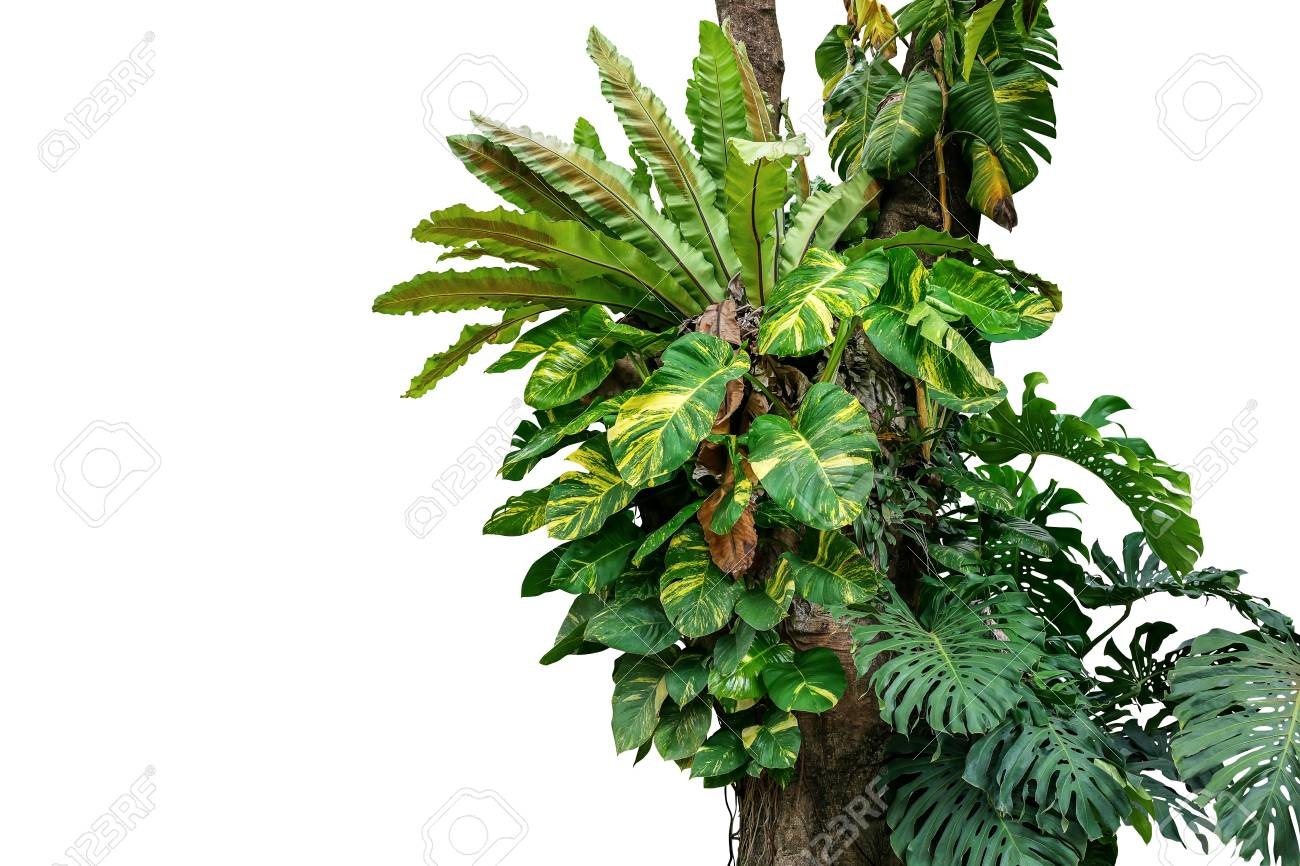 Rainforest Tree Trunk With Tropical Foliage Plants Monstera Stock Photo Picture And Royalty Free Image Image 104288986