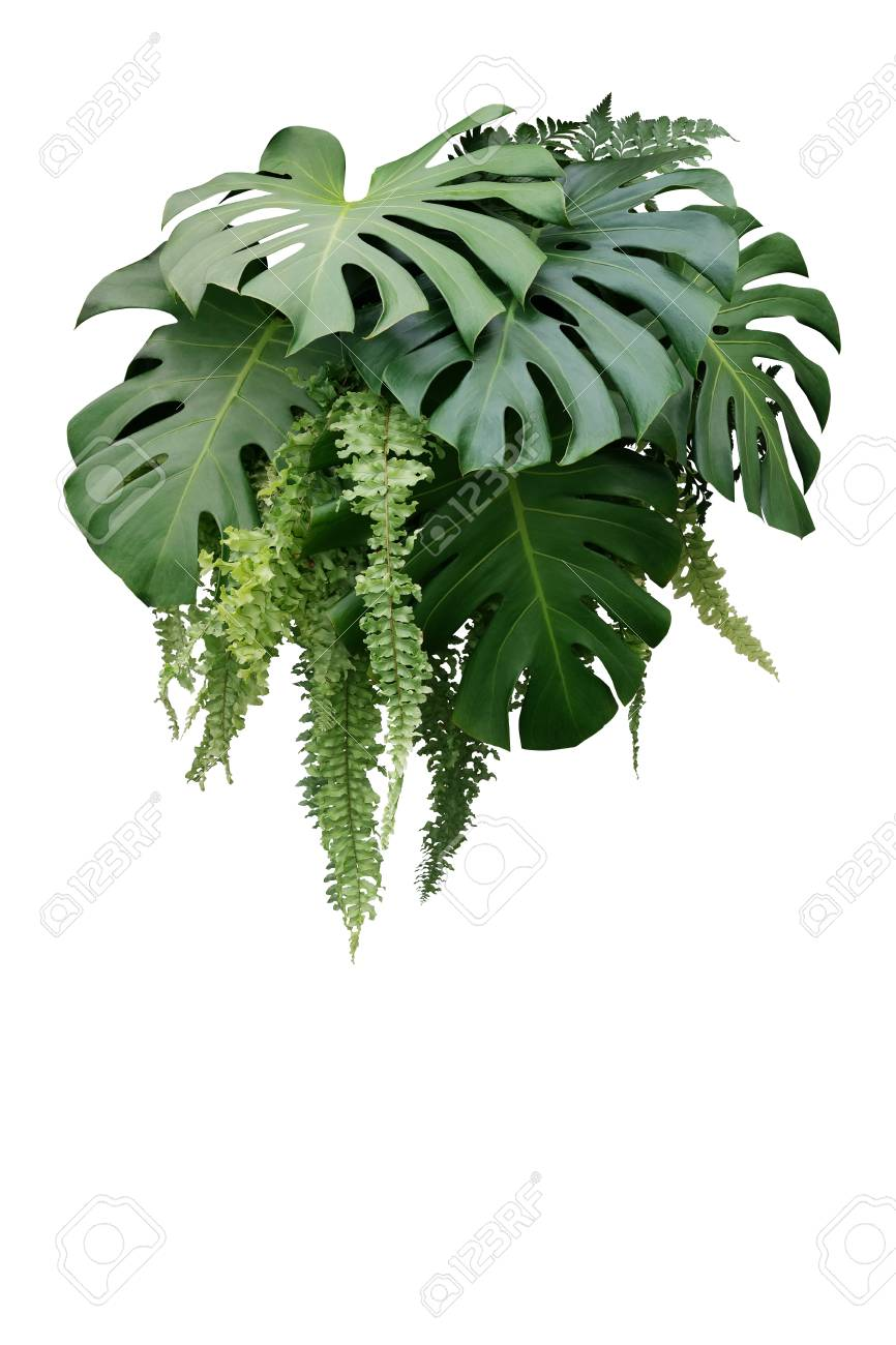 Tropical Foliage Plant Bush Of Monstera And Hanging Fern Green