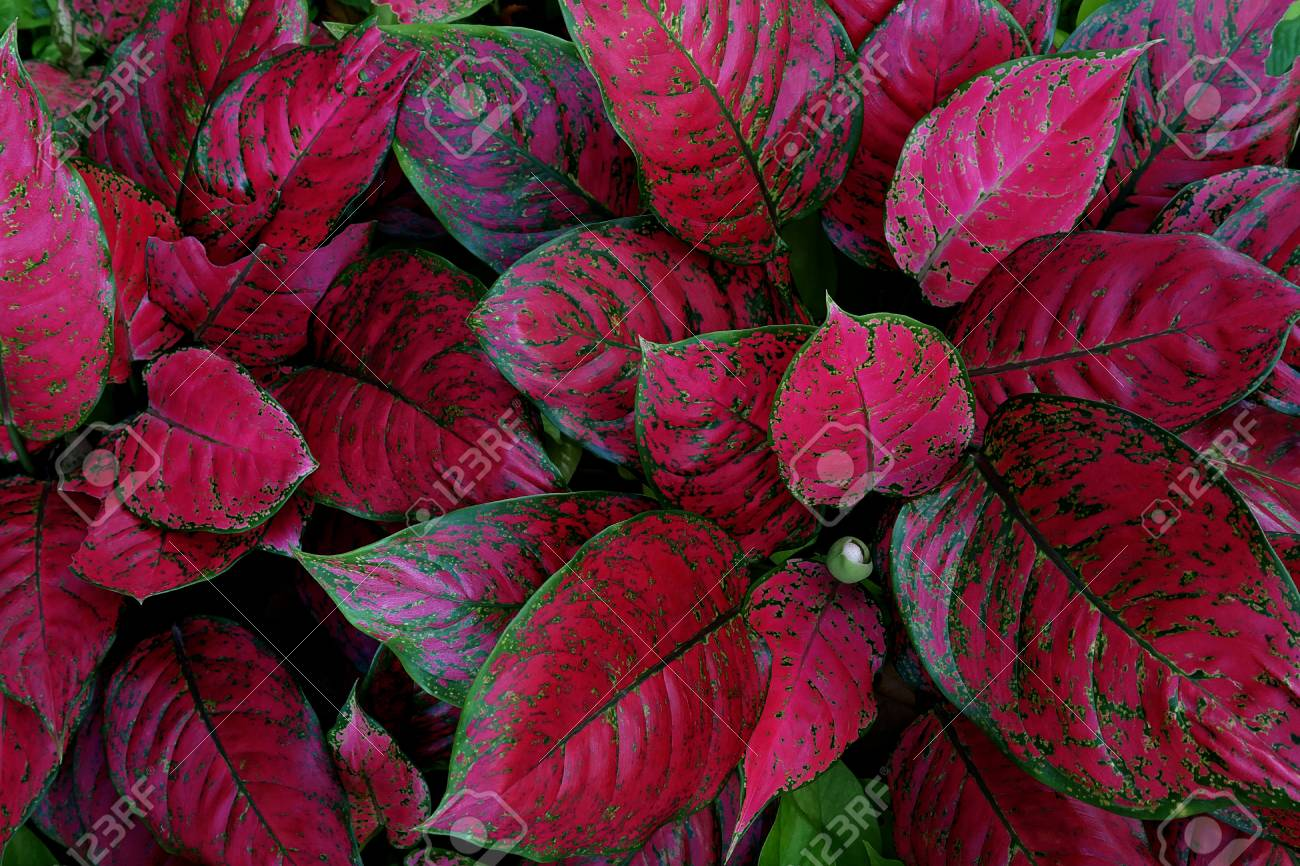 Red Aglaonema the colorful foliage houseplant variegated leaves.. on house plants with white leaves, house plants with bronze leaves, house plants with variegated leaves, house plants with light green leaves,