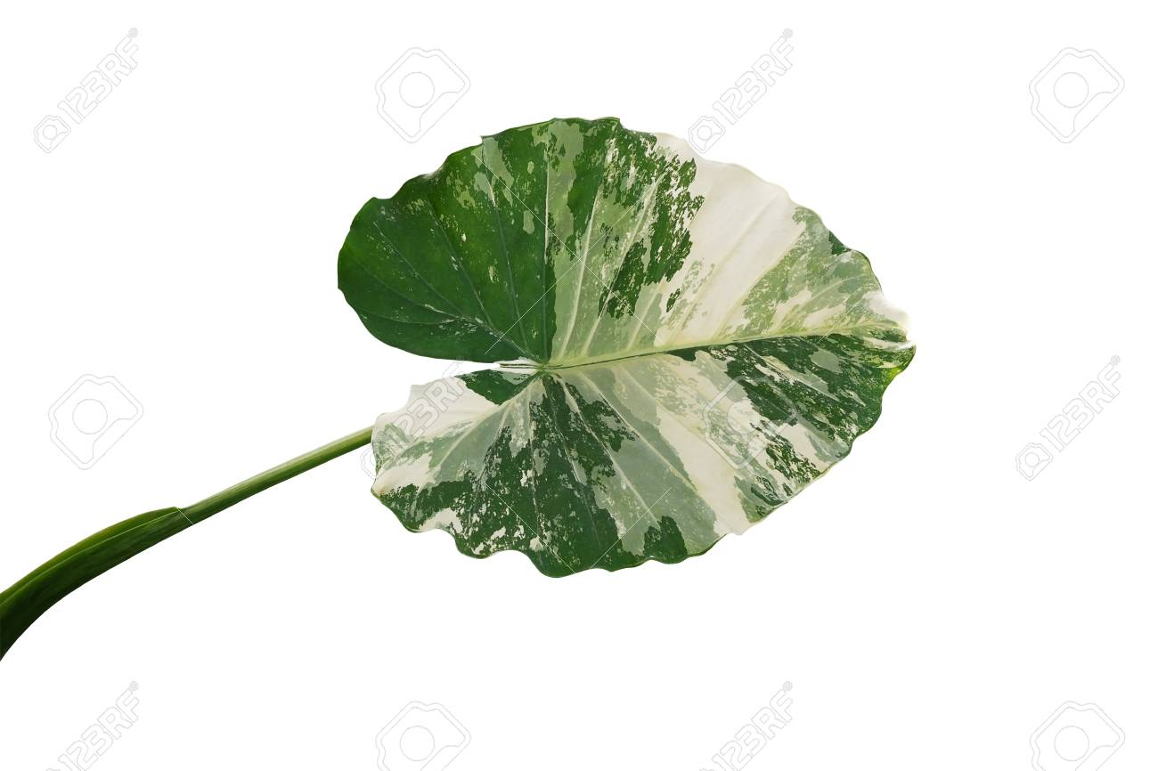 shaped variegated leaf of Elephant Ears or Variegated Alocasia.. on tropical plant with red and green leaves, elephant ear plants indoors, elephant foot house plant, elephant ear plants are poisonous, fern plant identification by leaves,