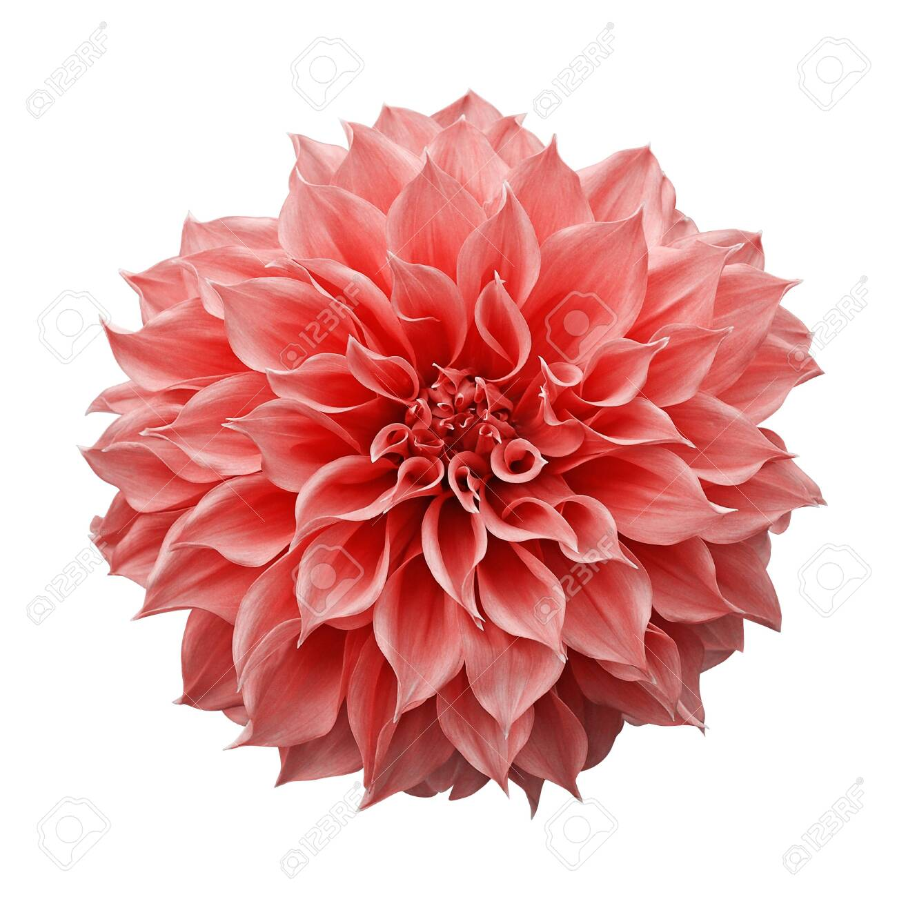 Trendy Pink Orange Or Coral Colored Dahlia Flower The Tuberous Stock Photo Picture And Royalty Free Image Image 130160570