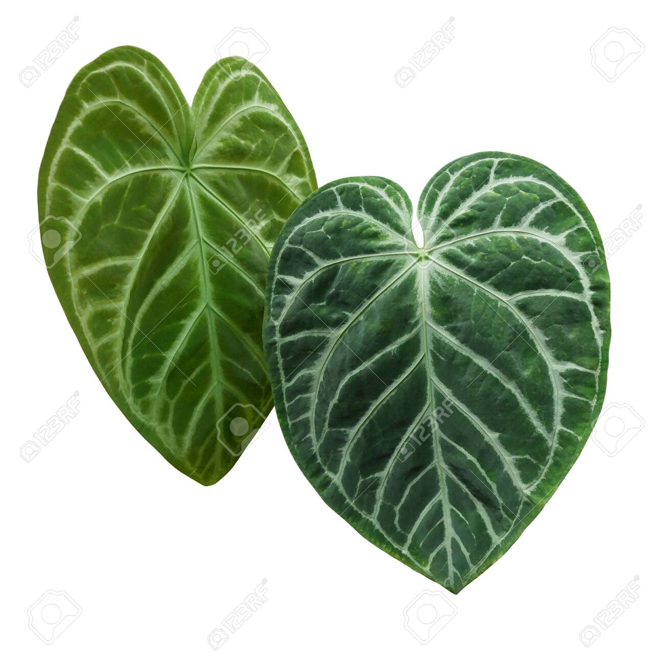 Heart Shaped Green Variegated Leaves Pattern Of Rare Anthurium