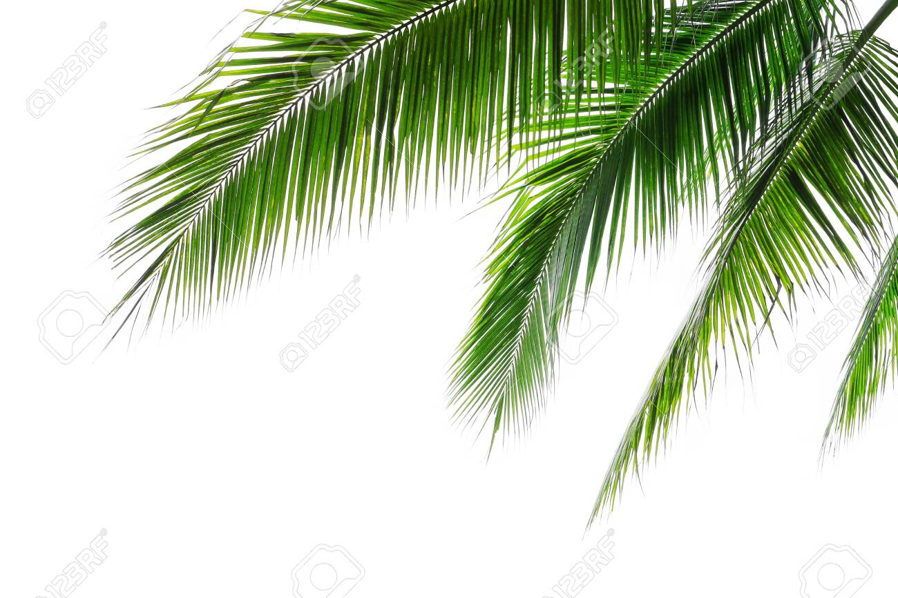Tropical Beach Coconut Palm Tree Leaves Isolated On White Background Stock Photo Picture And Royalty Free Image Image 138878385