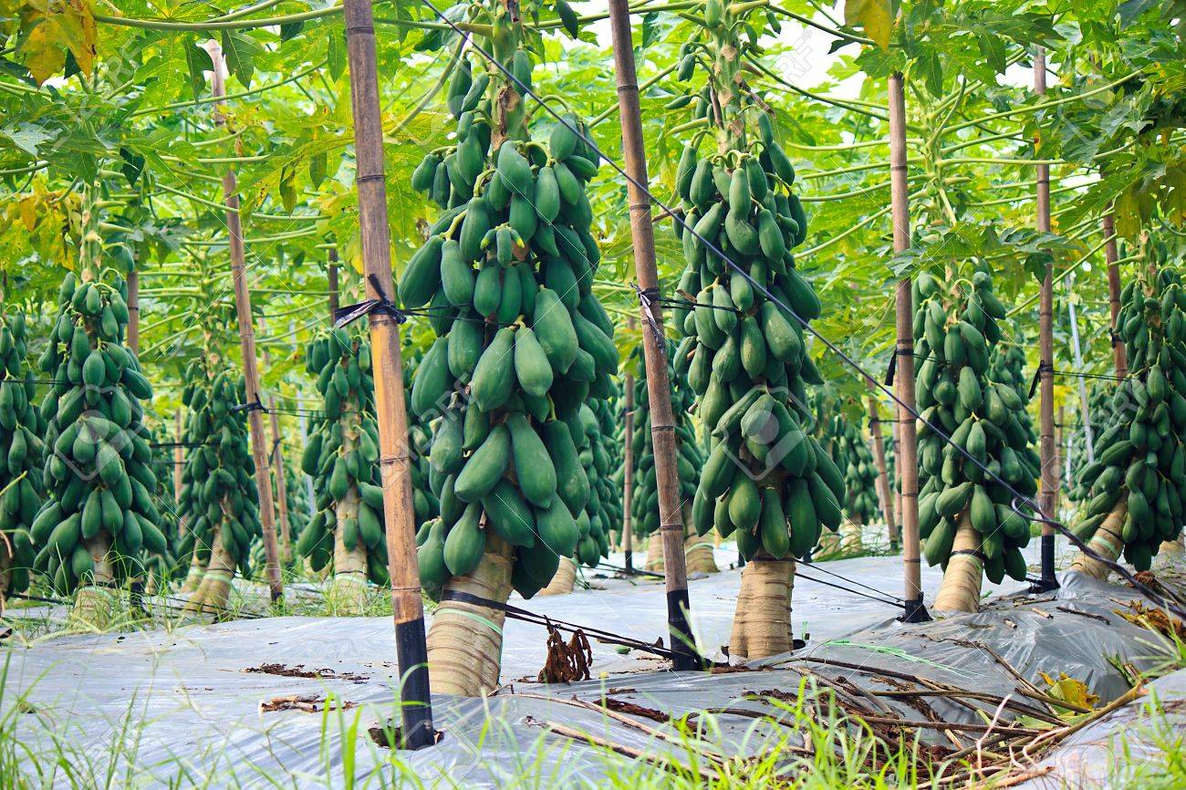 The Modernization Of Papaya Cultivation At Taiwan Stock Photo ...