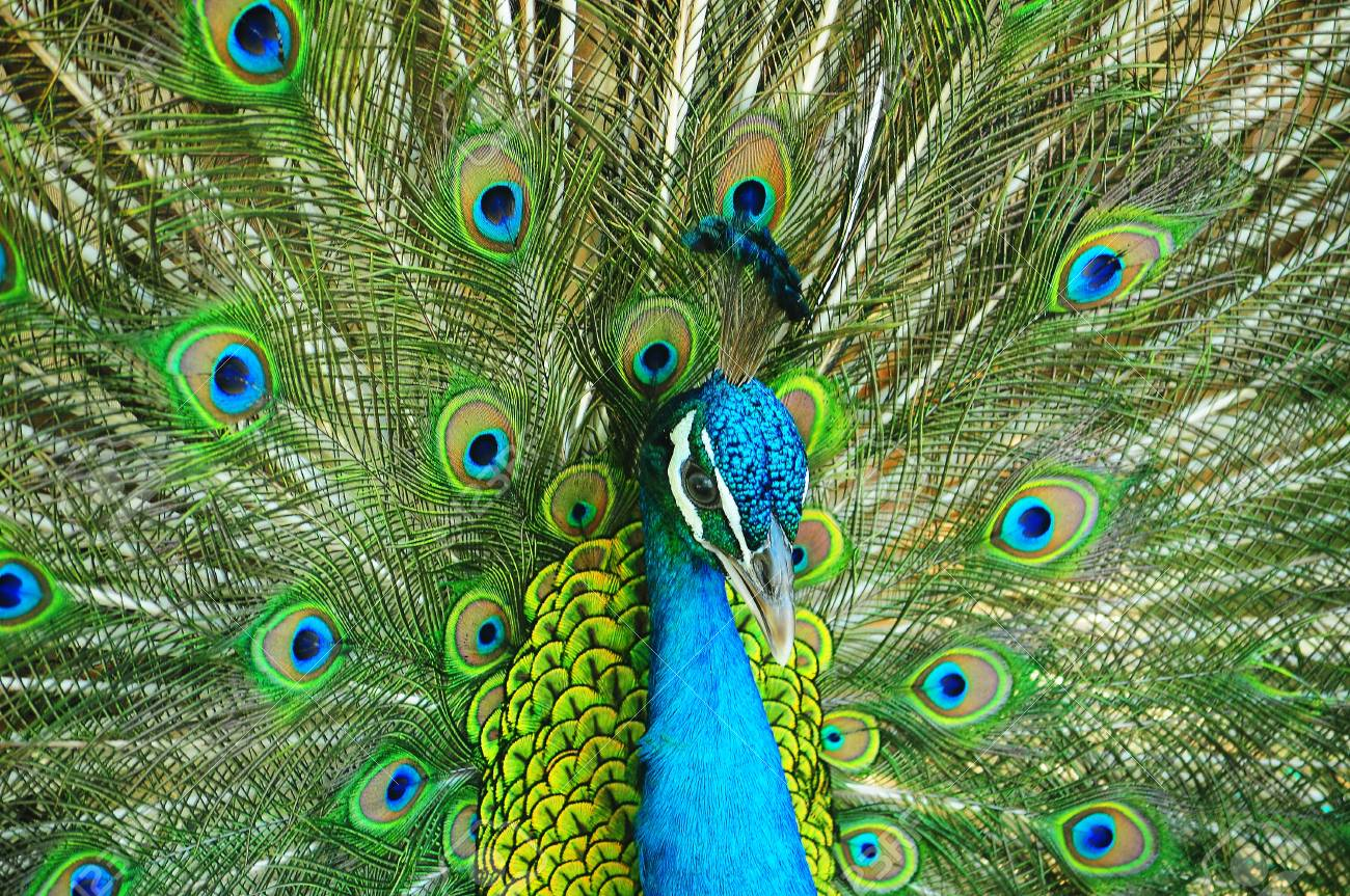 peacock is Spread tail-feathers Stock Photo - 17200927