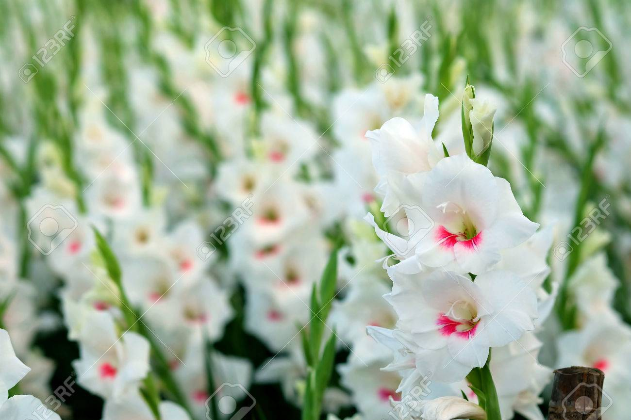 White gladiolus flower in field representation to splendid beauty stock photo white gladiolus flower in field representation to splendid beauty and promise and have some space for write wording mightylinksfo