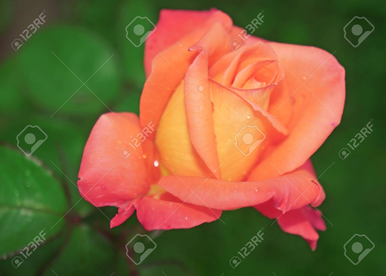 Belle Lumiere De Fleur Rose Rose Jaune Close Up Banque D Images Et