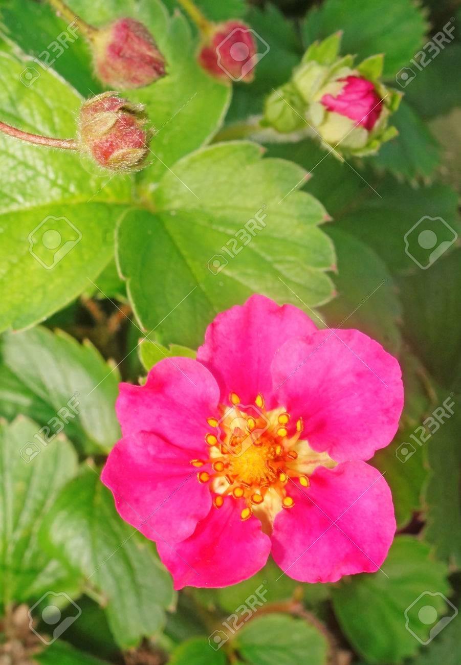 Strawberries with pink flowers closeup stock photo picture and stock photo strawberries with pink flowers closeup mightylinksfo