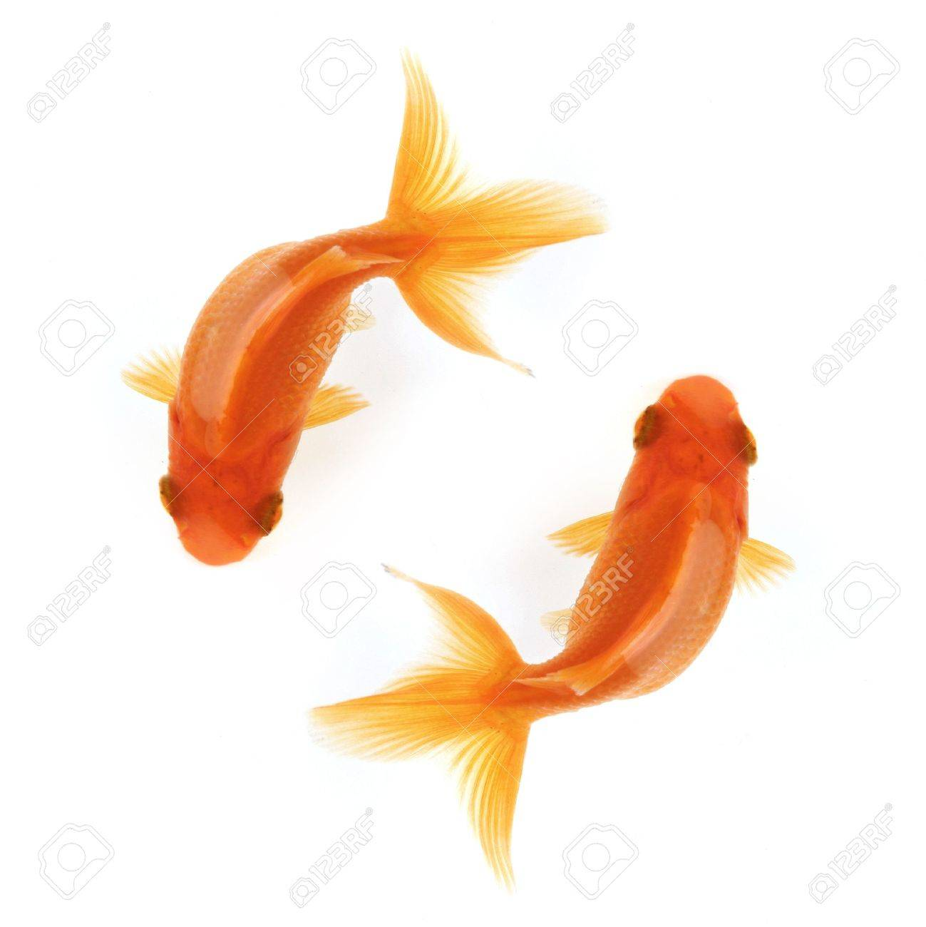 Two goldfish swimming in circles isolated on white, birdseye view Stock Photo - 731010
