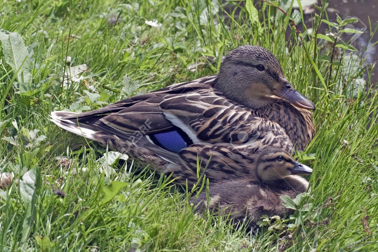 Mother Duck Sun