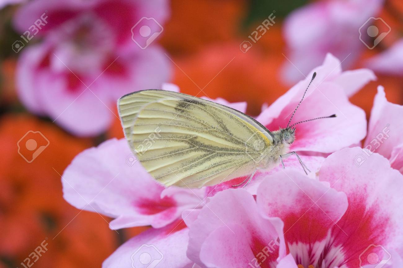 Green-veined White  Pieris-napi  on Geranium Stock Photo - 15937931