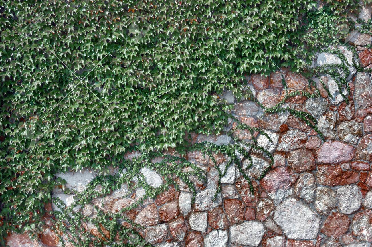 The Fence Of Green Space Stone And Climbing Plants Stock Photo