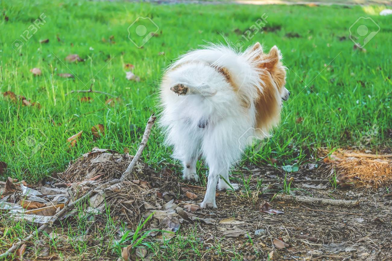 Cute small dog peeing standing up, viewed from backwards. Stock Photo -  111178504
