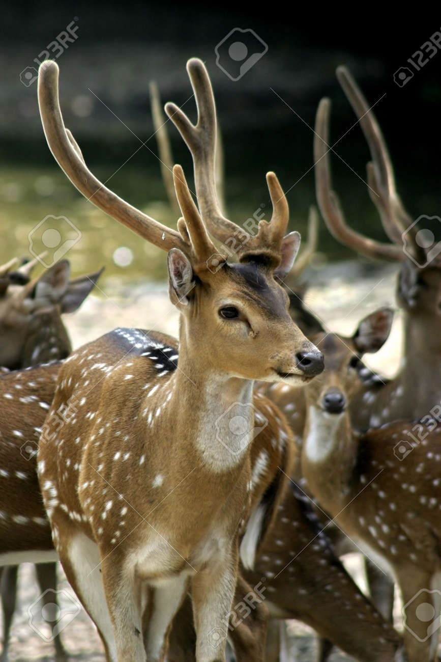 A group of deer at the Taiping Zoo and Night Safari Stock Photo - 308133