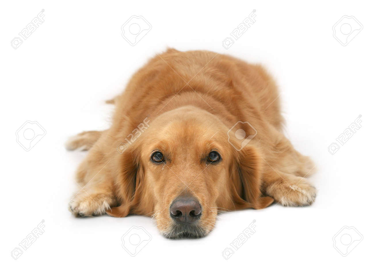 Golden retriever lying with head down looking at camera Stock Photo - 434298