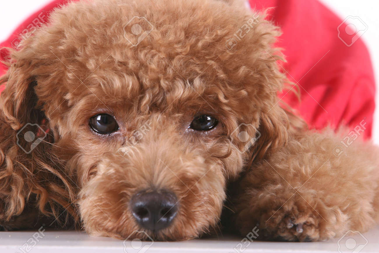 Toy Poodle With Puppy Cut In Large Red T Shirt Stock Photo Picture And Royalty Free Image Image 3090714