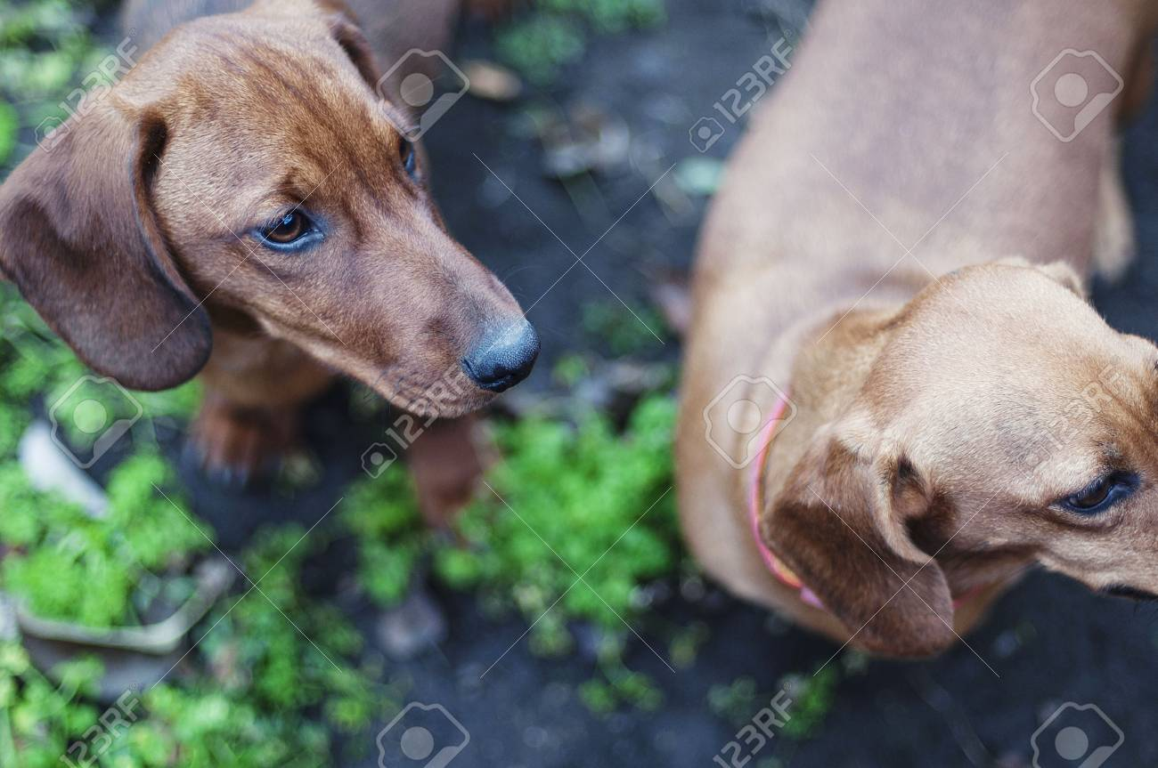 Dachshund Puppies Stock Photo Picture And Royalty Free Image Image
