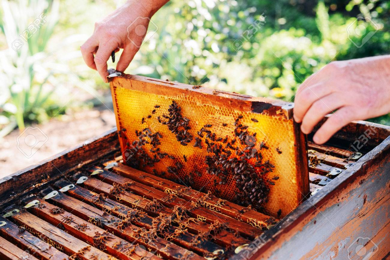 Frames Of A Bee Hive. Beekeeper Harvesting Honey. The Bee Smoker ...