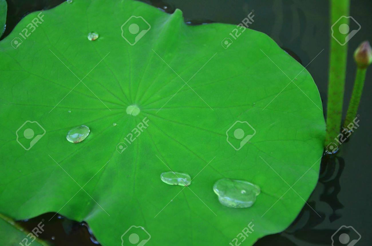 lotus leaf Stock Photo - 20336389