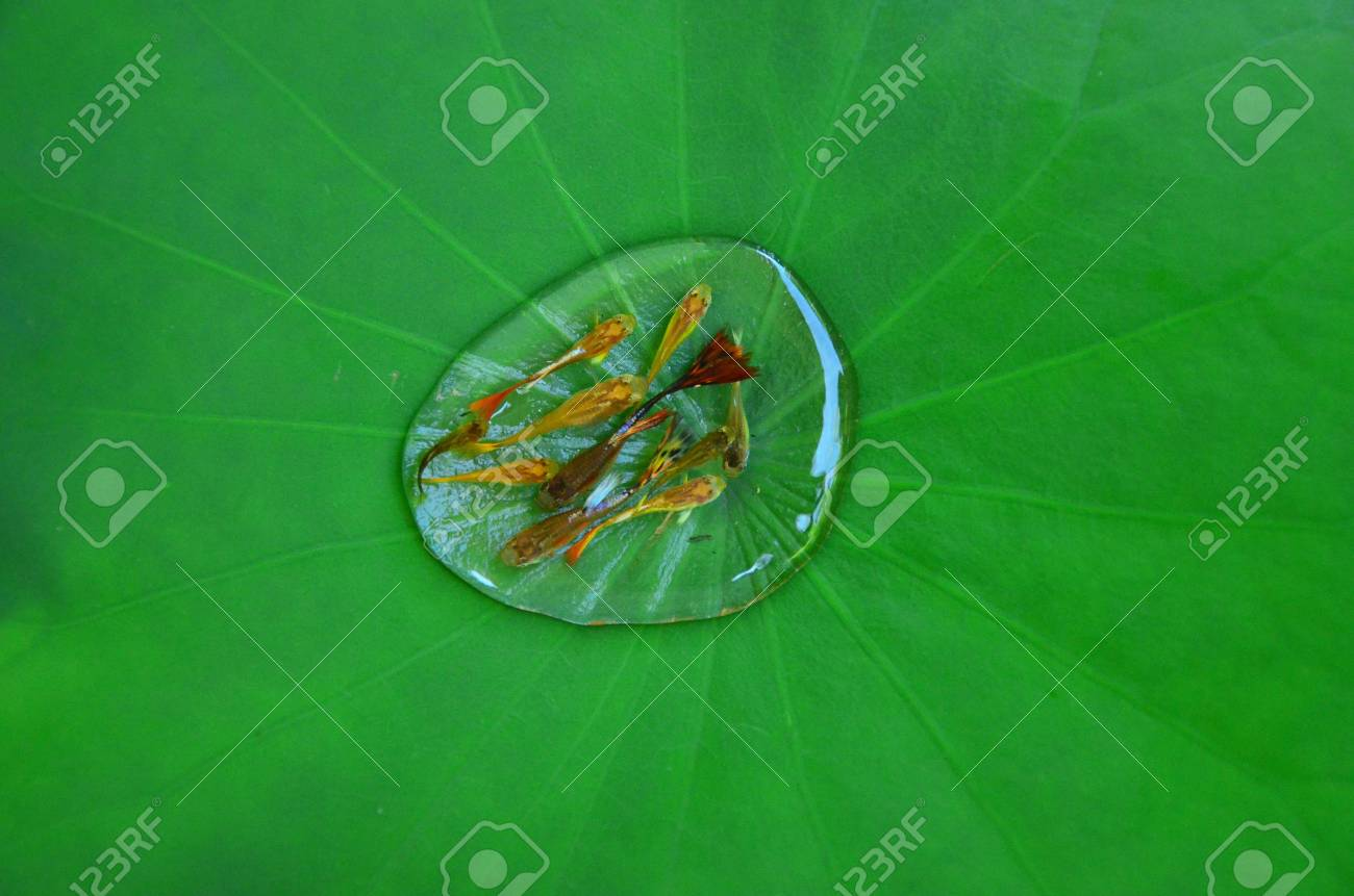 lotus leaf and fish Stock Photo - 20336402