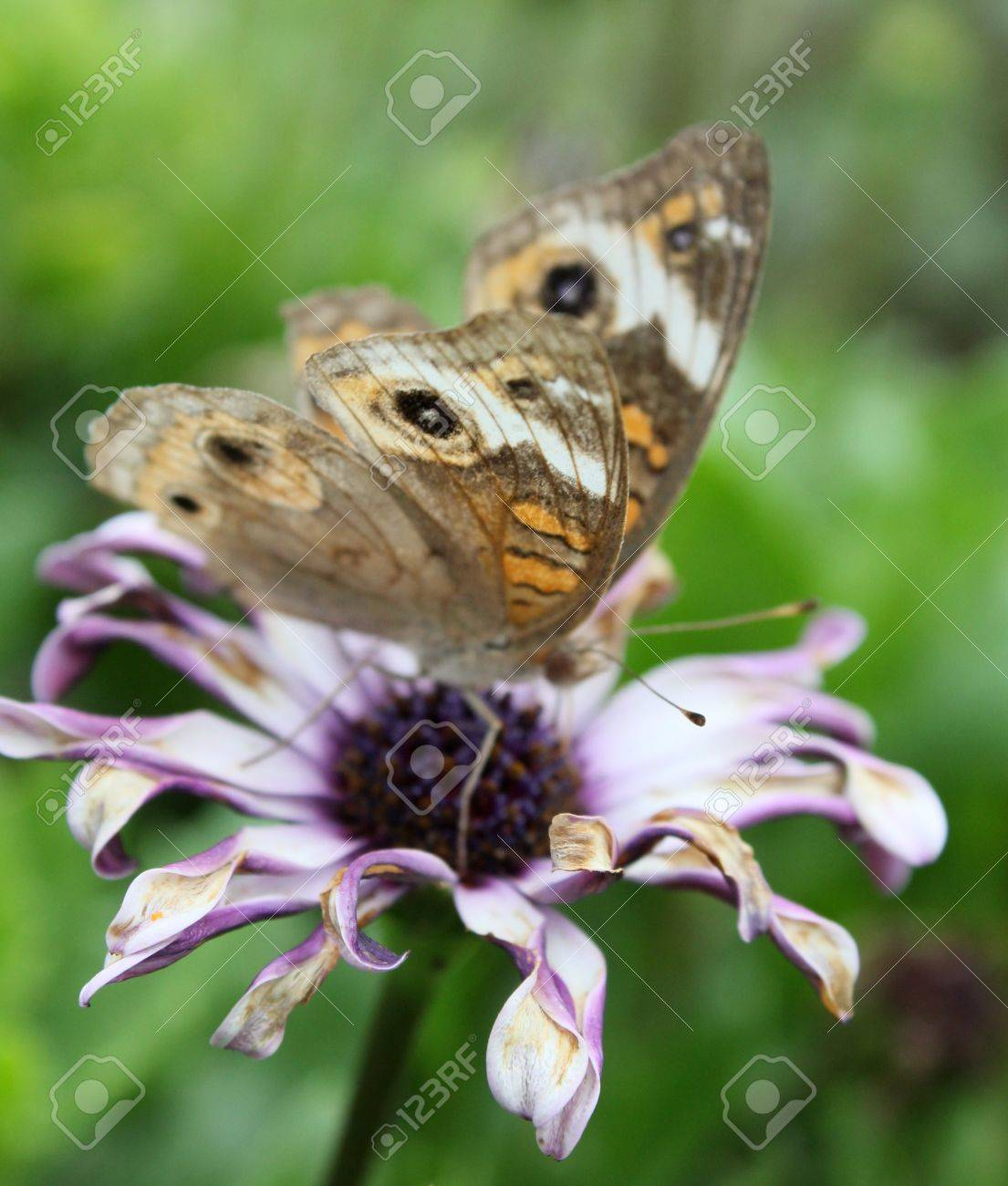 Faded buckeye butterfly on a fading flower. Stock Photo - 11241291