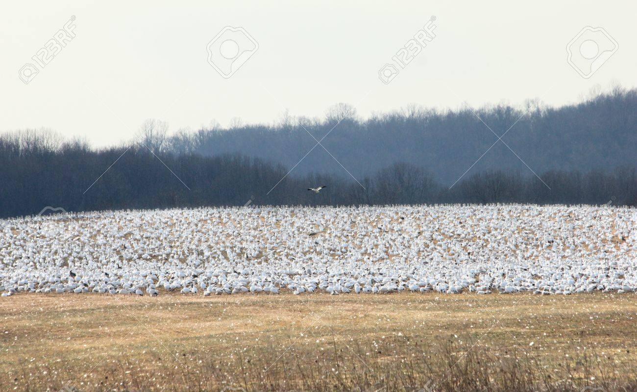 A single bird flying above a resting flock of snow geese. Stock Photo - 15506307