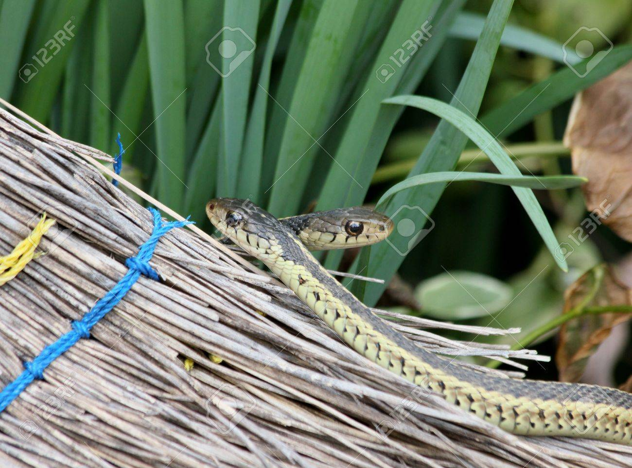 A pair of garter snakes crawling on an old broom. Stock Photo - 15506275